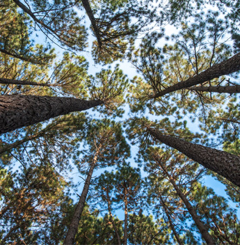 View from bottom looking up to tall pine trees and blue skies