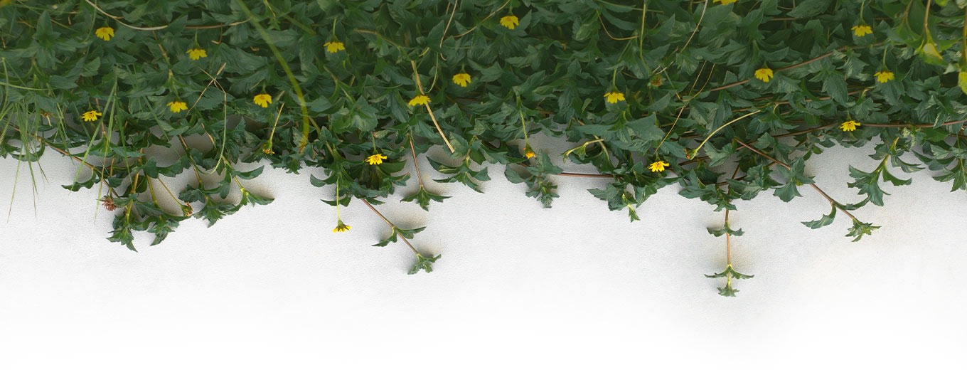 Vines hanging from wall with yellow flowers blooming