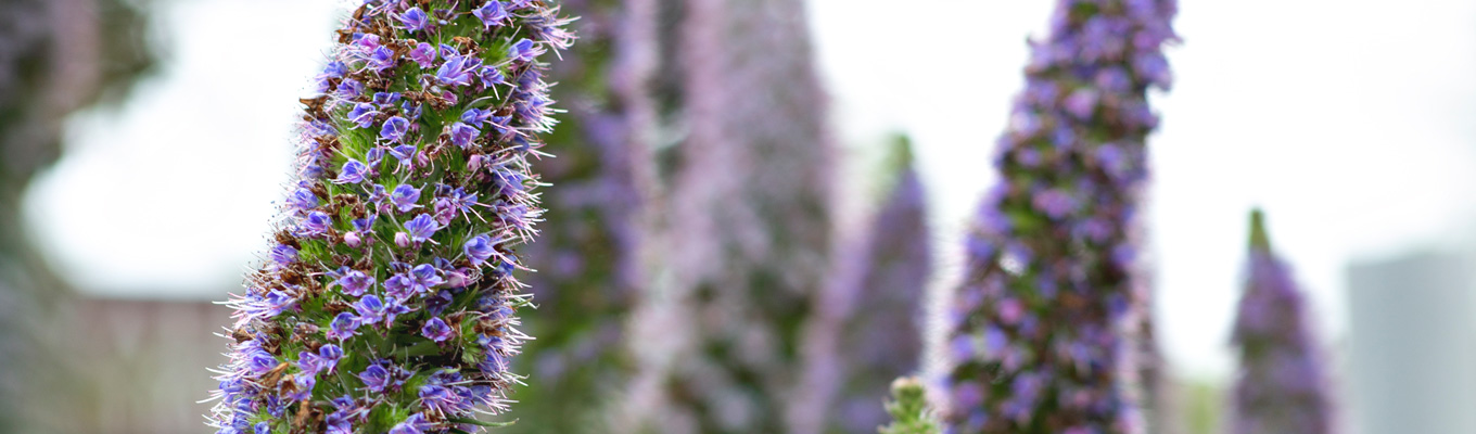 Purple desert flowers, in focused and blurred in the background